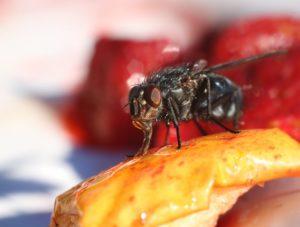 Fruit fly resting on a dessert