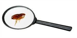 Flea under a magnifier against a white background
