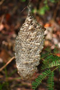hornet nest on a tree