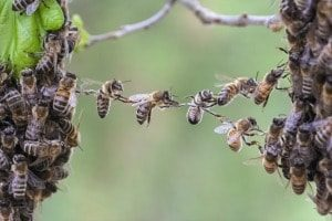 swam of bees forming a hive
