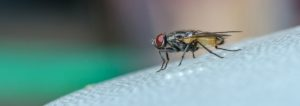 Common house fly on table