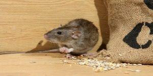 Brown rat going through a sack of corn